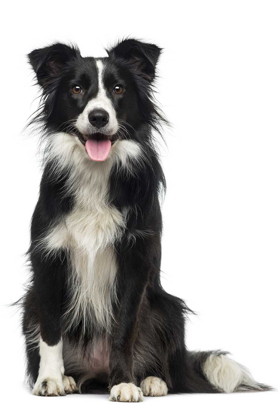 border-collie-shutterstock_250345732